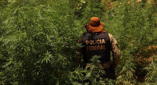 Polícias erradicam 367 mil pés de maconha no Sertão de Pernambuco
