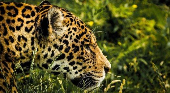 Dia dos Animais: ameaçada, onça-pintada é monitorada na Mata Atlântica