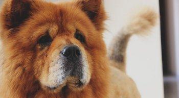 Chow-chow é um cachorro originário da China e pode chegar a pesar mais de 30 quilos
