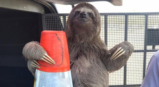 Bicho-preguiça é resgatado às margens da BR 101