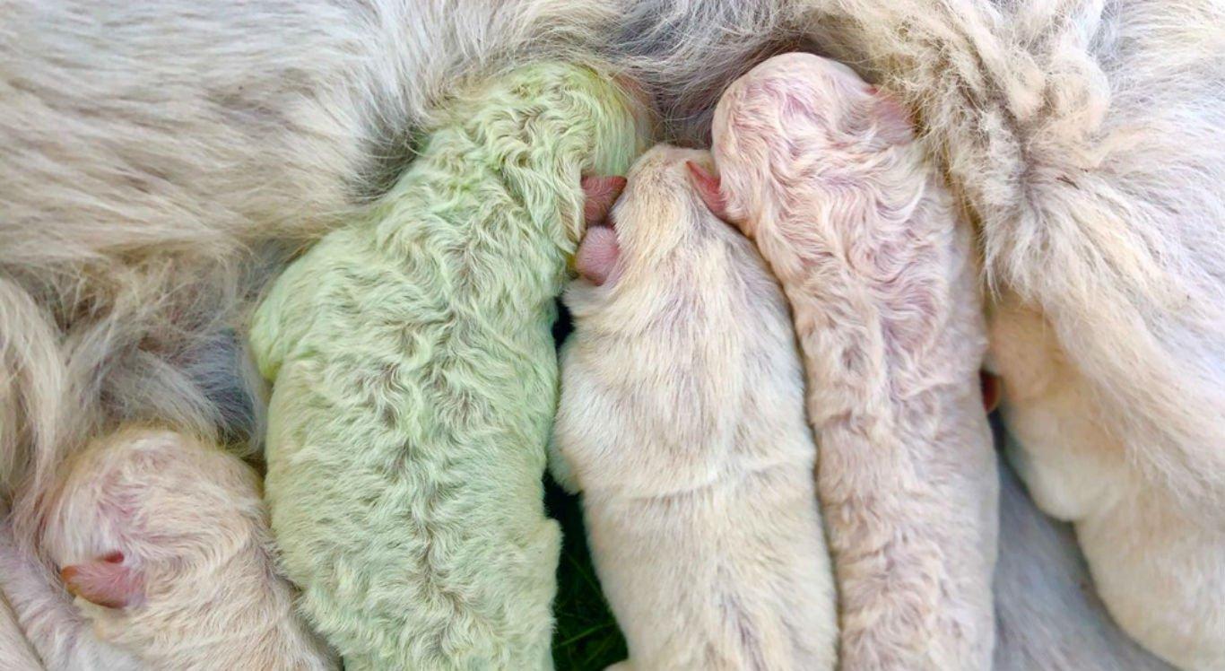Filhote nasceu com o pelo verde, diferente dos irmãos