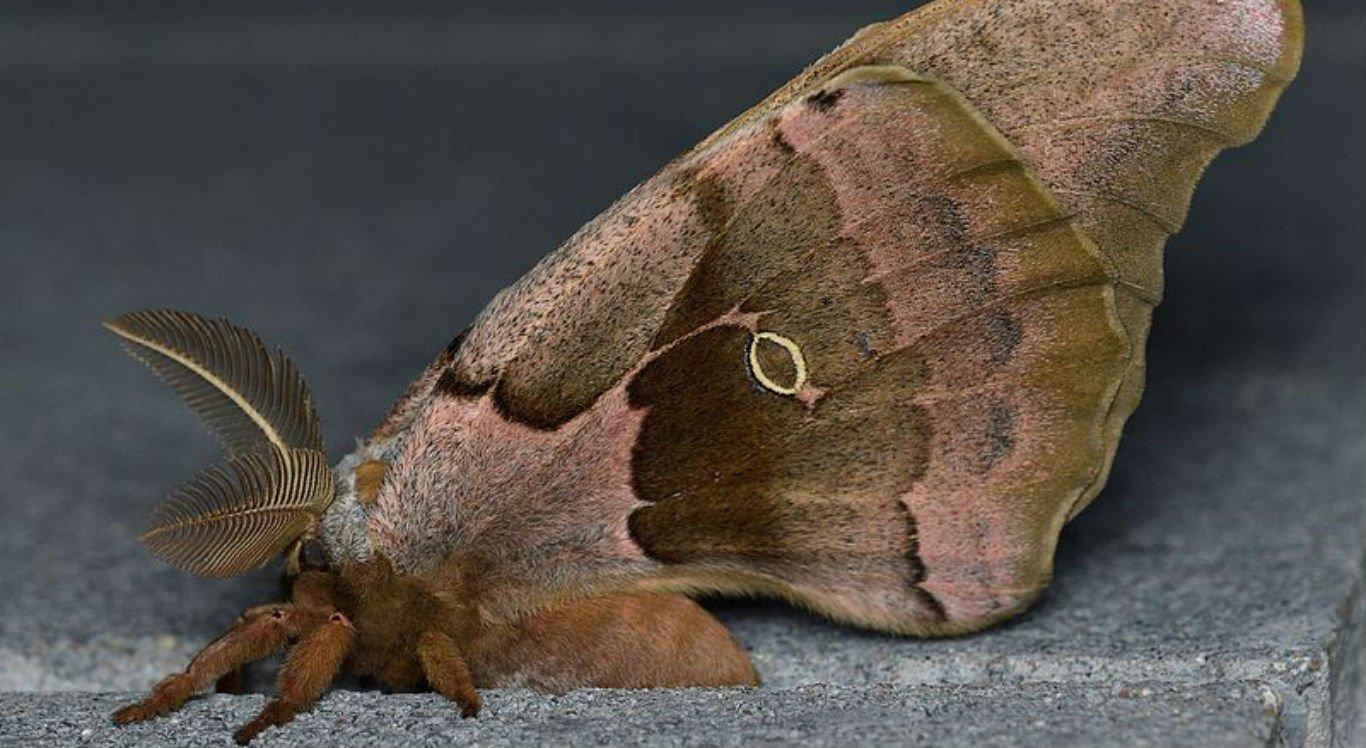 Antheraea polyphemus é uma mariposa gigante