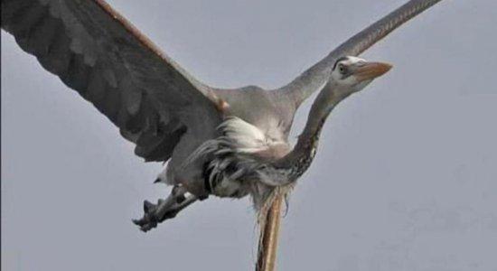 Enguia perfura estômago de garça para se salvar nos EUA