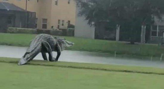 Jacaré gigante atravessa campo de golfe durante ciclone e imagens viralizam