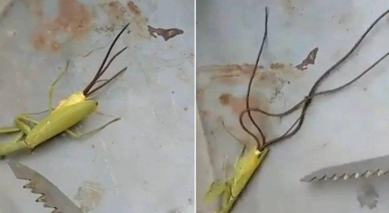 Criatura saiu de dentro de inseto