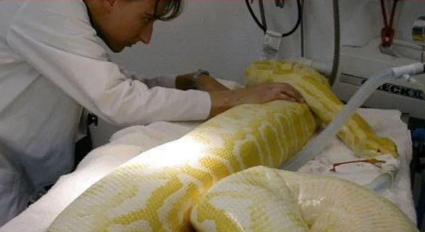 A serpente exótica mede cerca de 4 metros de comprimento e deve ter aproximadamente cinco anos de vida