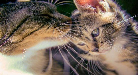 Esporotricose: Entenda doença infecciosa transmitida por gatos confirmada em Manaus