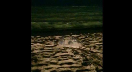 Na noite do Natal, tartaruga faz ninho e deposita ovos em Candeias