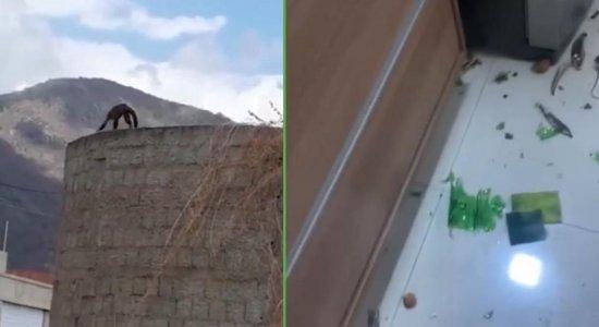 Macaco-prego invade casas e causa destruição; veja vídeo