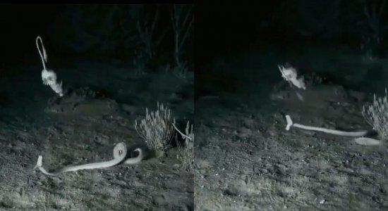 Vídeo mostra momento em que rato escapa de ataque de cobra; veja