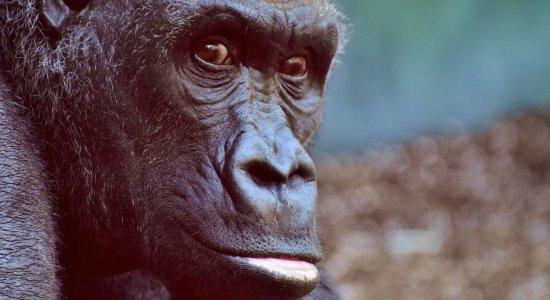 Gorilas de zoológico nos EUA testam positivo para o coronavírus