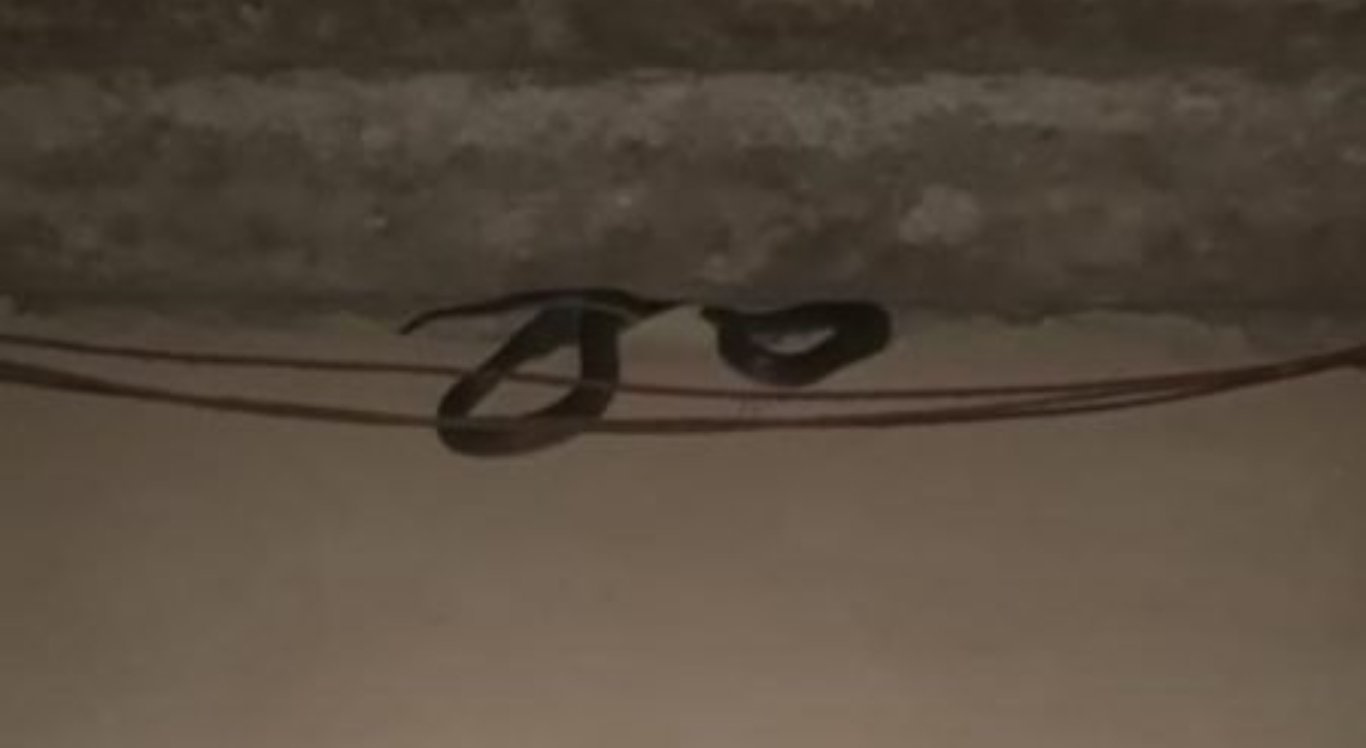 Cobra é resgatada de telhado de casa
