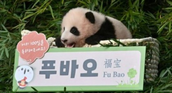 Vídeo: panda bebê agarra cuidador e viraliza nas redes sociais; assista