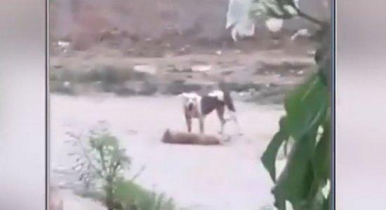 Vídeo: Pitbull solto ataca e mata outro cachorro em Olinda
