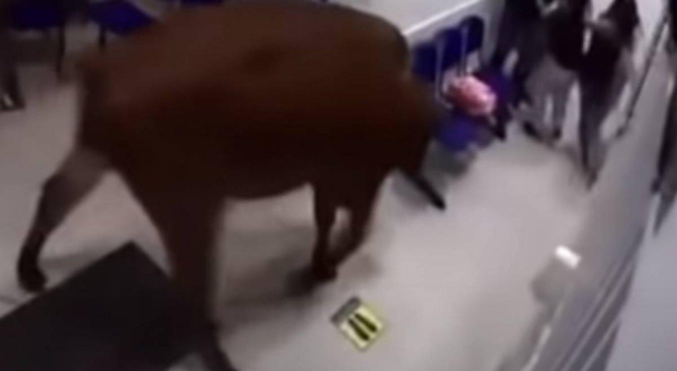 A vaca aparece nas imagens entrando no hospital e atacando as pessoas
