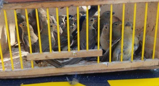 Oito dias após ser encontrado com 200 aves silvestres, homem é flagrado transportando mais 300 pássaros, no Sertão de Pernambuco