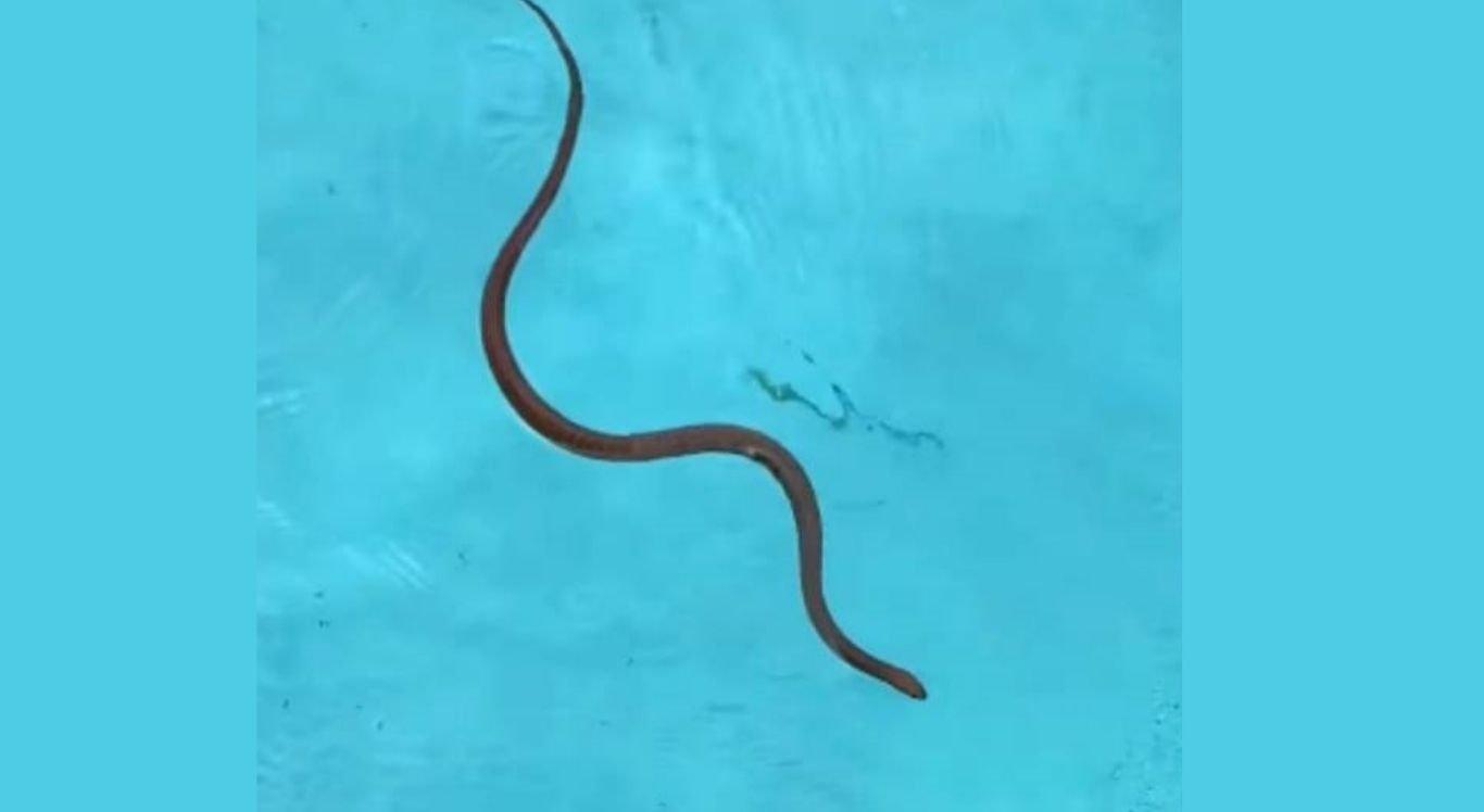 Cobra foi encontrada nadando em piscina na Austrália