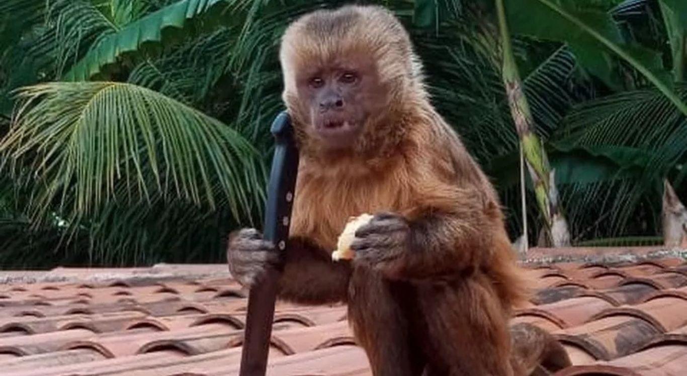 Macaco invadiu a casa e pegou uma faca