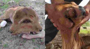 O bezerro nasceu com duplicação craniofacial em Surubim
