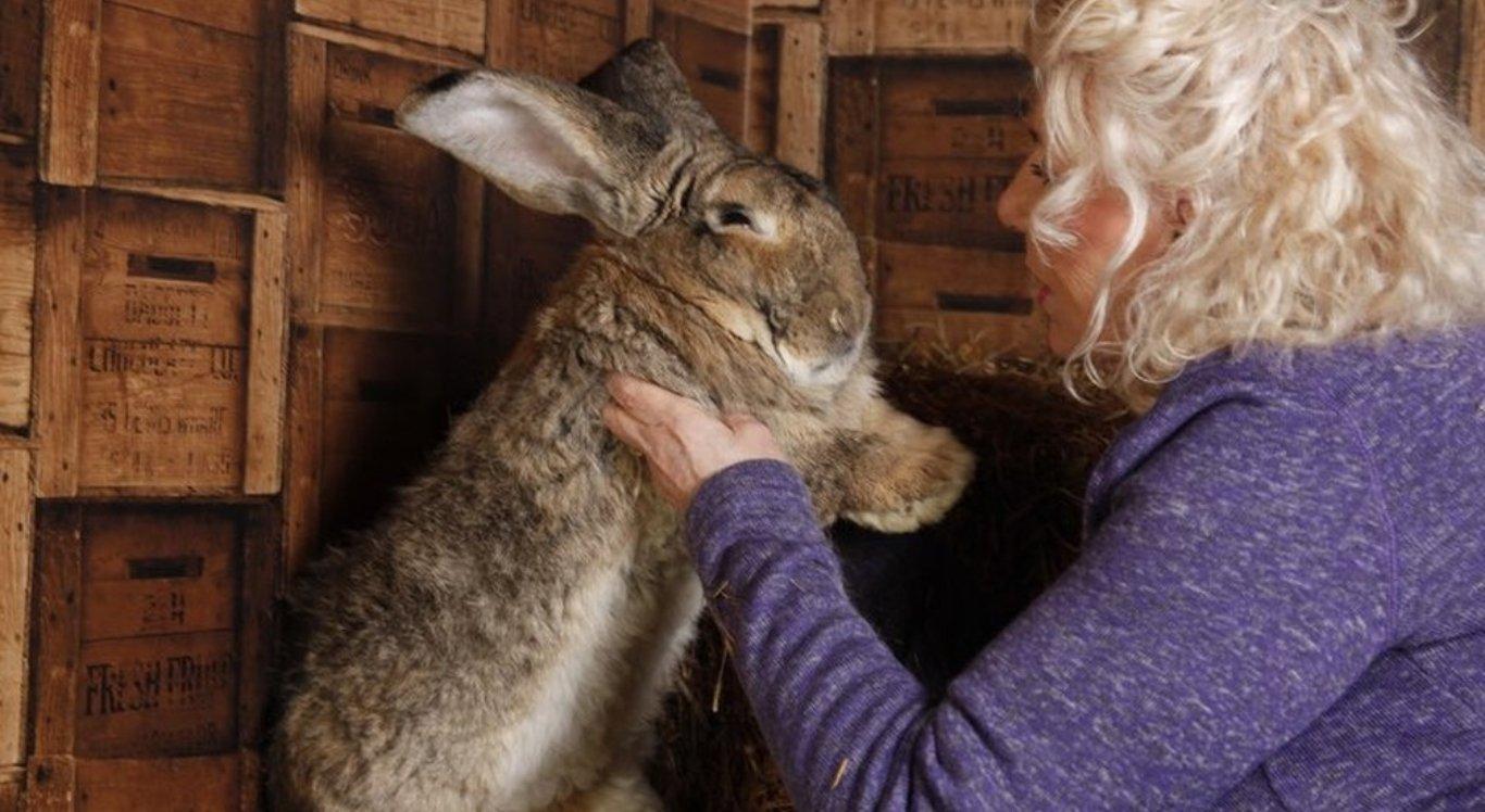 Maior coelho do mundo desaparece e polícia investiga paradeiro