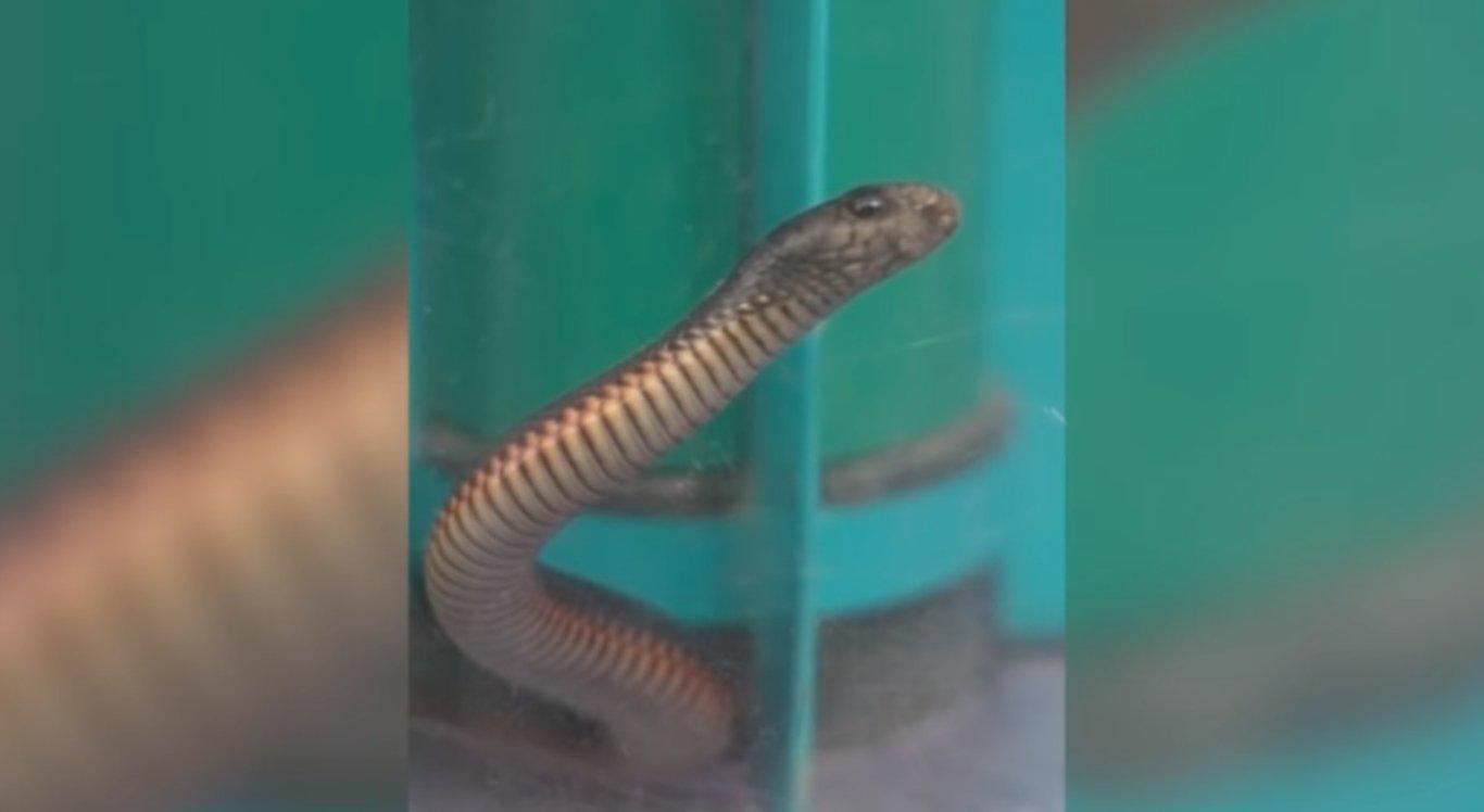A cobra mortal ficou dentro do aspirador de pó