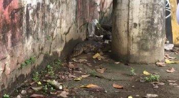 Vídeo: Jacaré é encontrado em calçada no Cordeiro, Zona Oeste do Recife