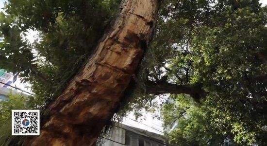 Moradores se preocupam com situação de árvore na Avenida Manoel Borba, no Recife