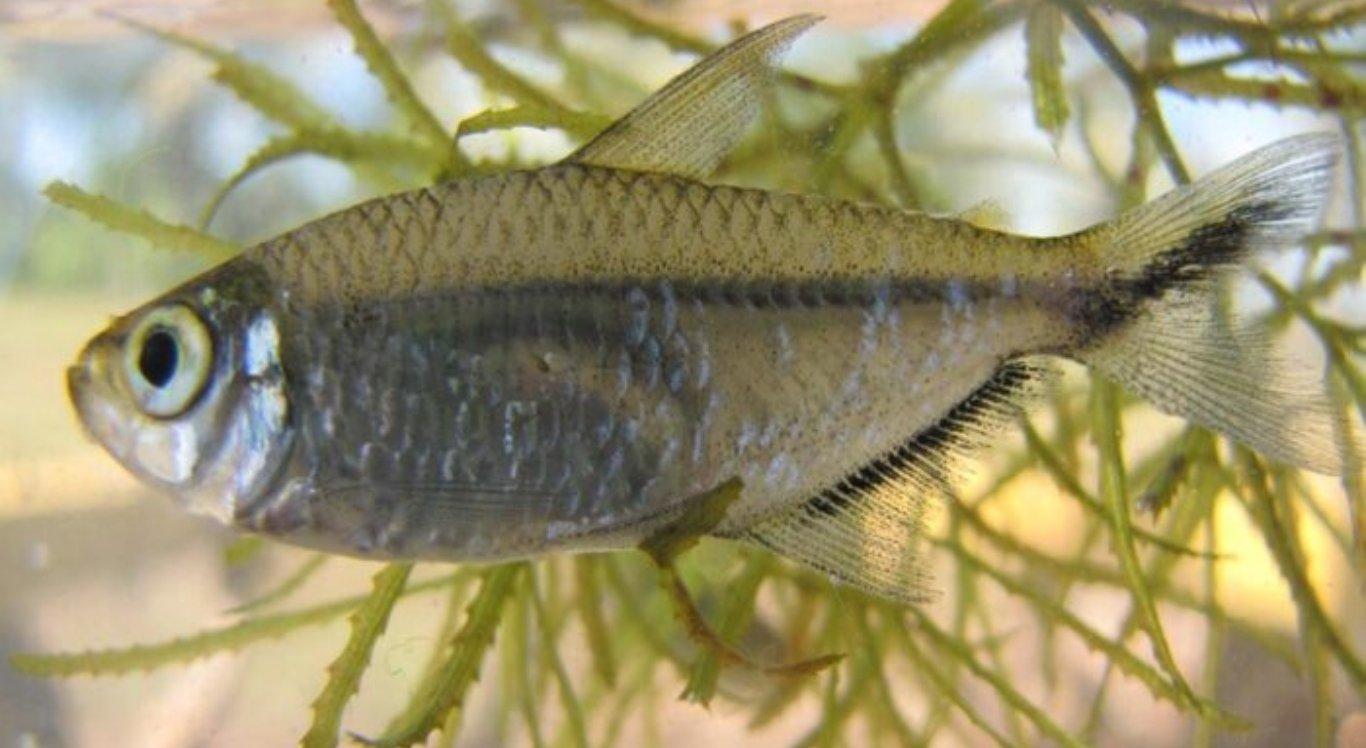 Moenkhausia costae é considerado