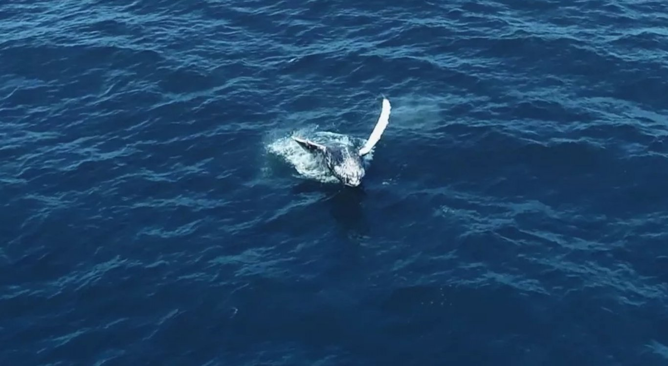 Balei jubarte na costa do ES