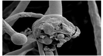 Imagem de um fungo do grupo Morales
