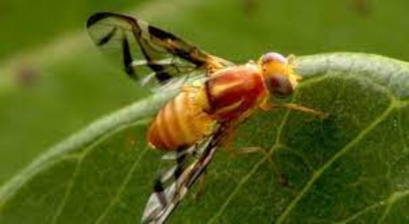 Infestação da mosca das frutas nas plantações de Petrolina preocupa produtores