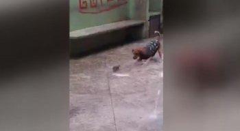 O rato enfrentou os três cachorros