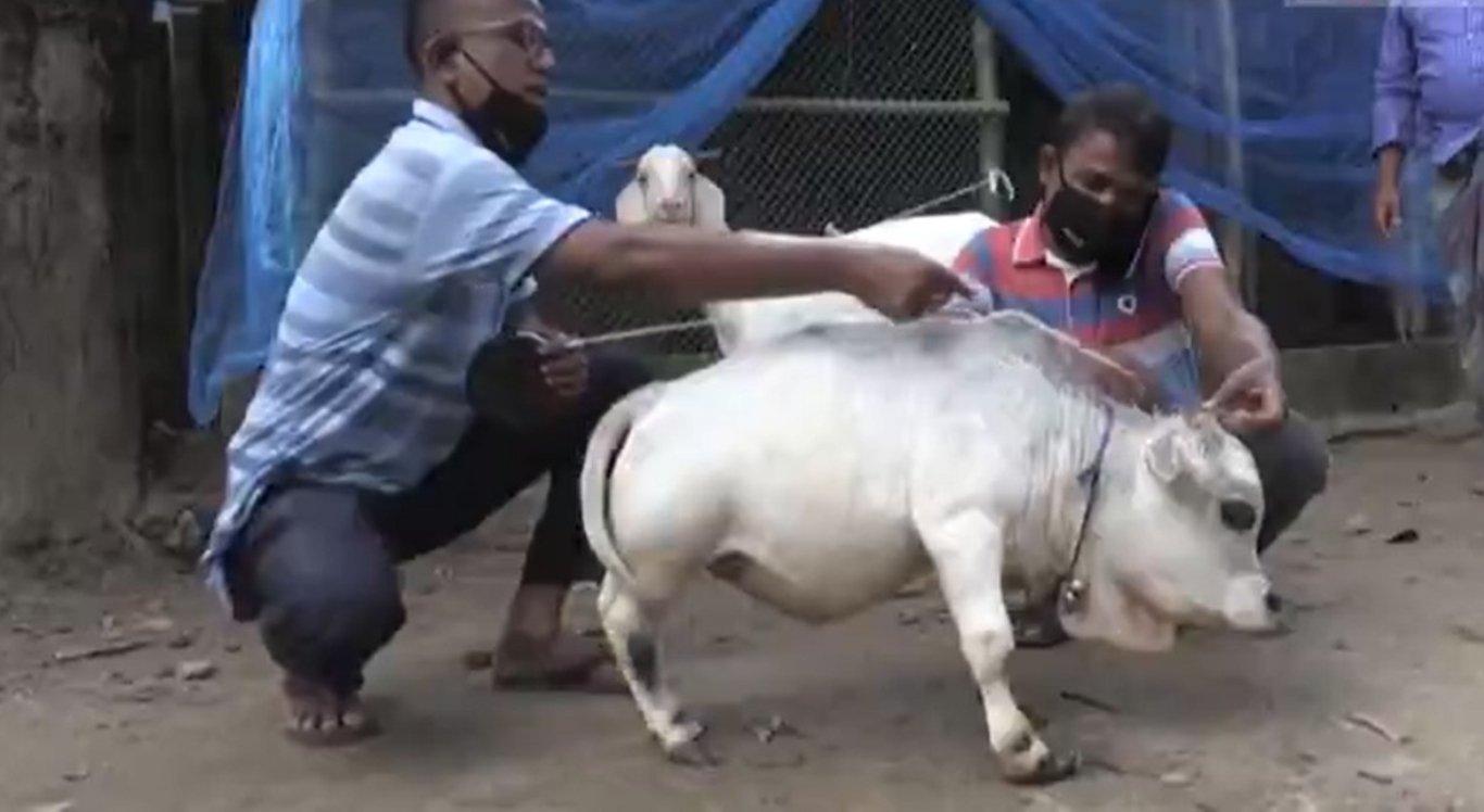 Vaca anã