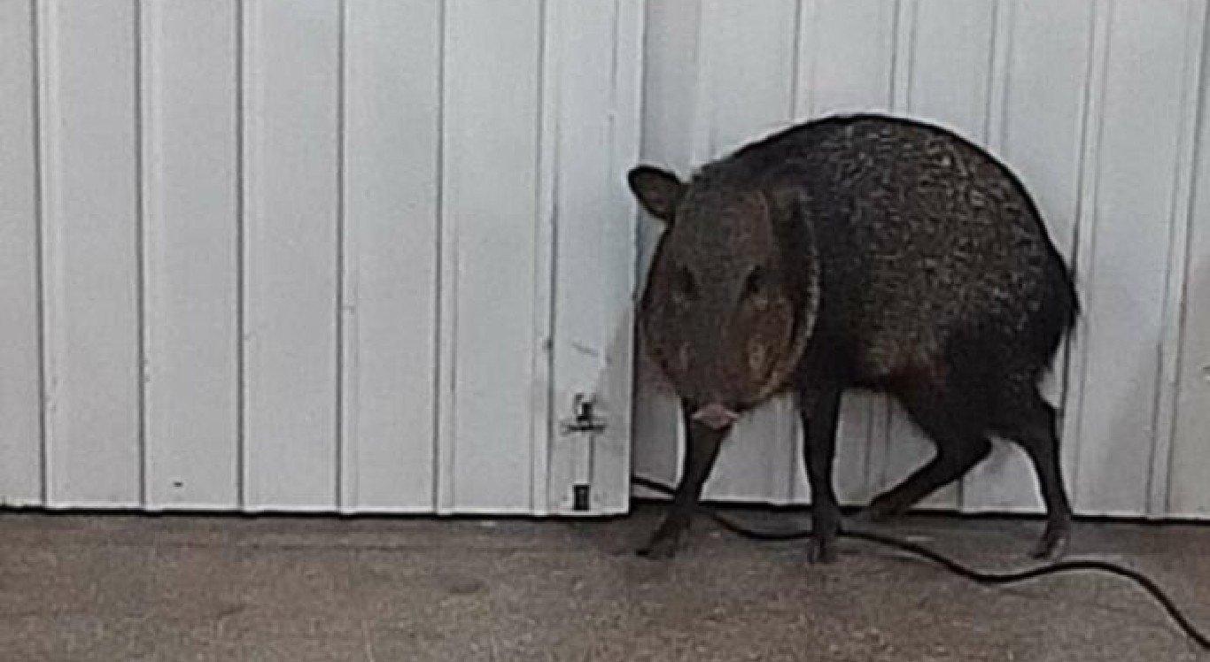 O porco-do-mato invadiu o centro de vacinação contra a Covid-19