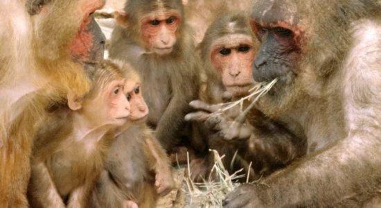 Herpes B: China registra 1ª morte de humano por vírus raro e mortal de macaco; conheça a doença