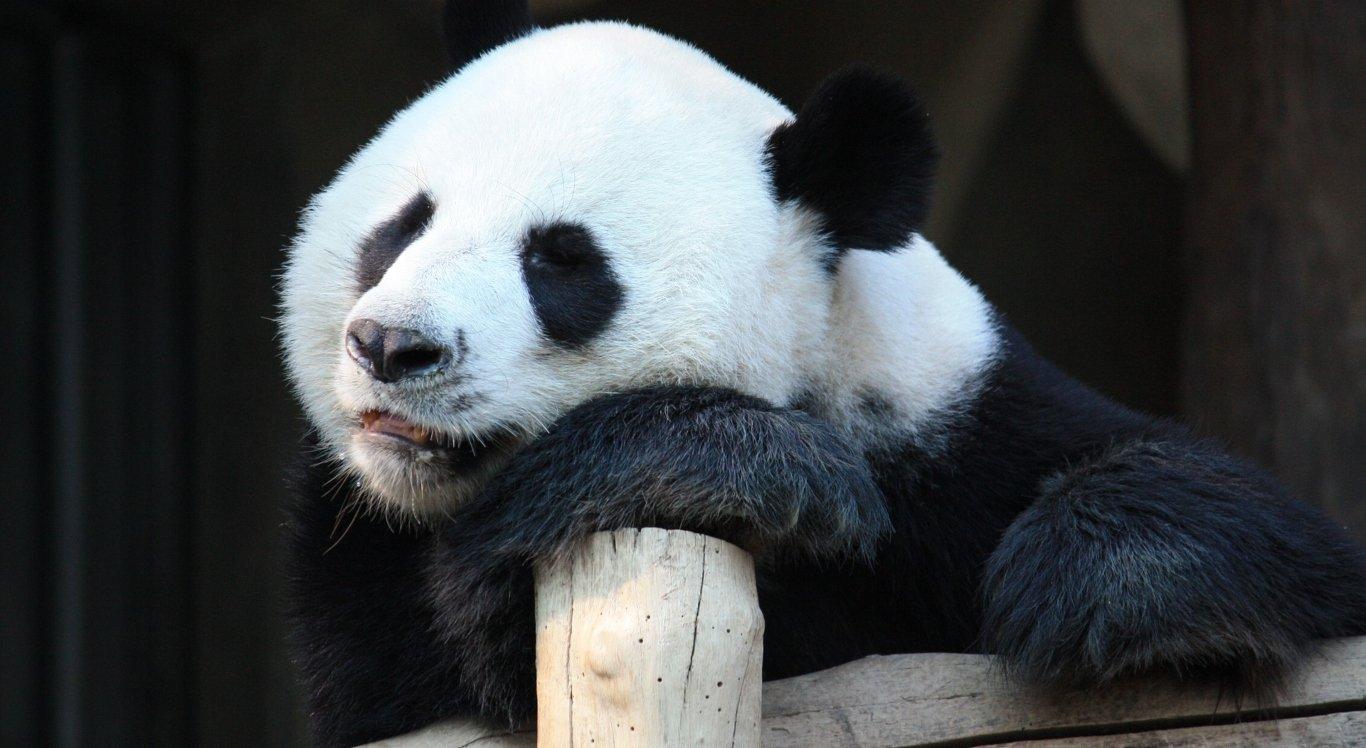 Panda dá à luz filhotes gêmeos  (foto ilustrativa)