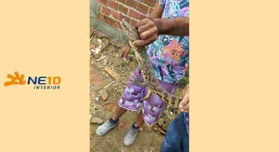 Filhote de jacaré é capturado