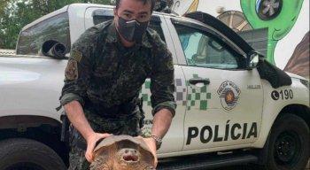 Tartaruga-aligátor foi encontrada e resgatada em São Paulo.