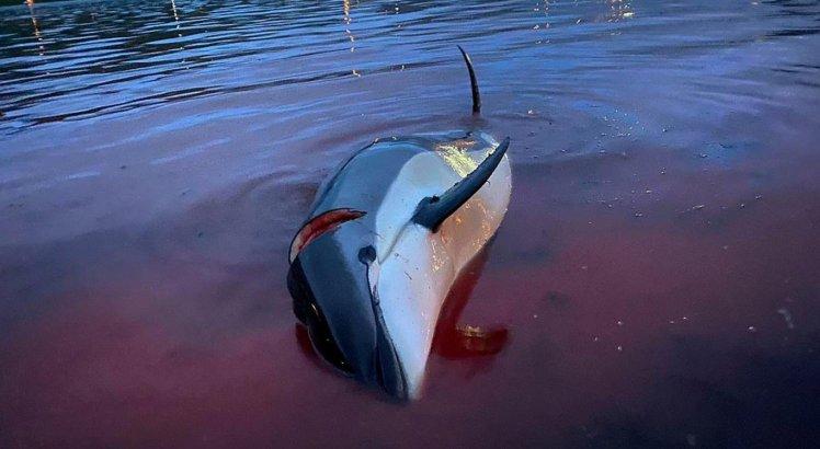 Golfinho morto nas Ilhas Faroé