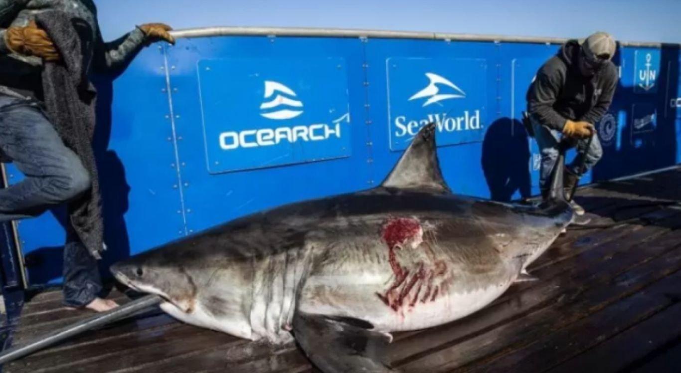 O tubarão-branco foi nomeado de Maple e mede  2,5 metros