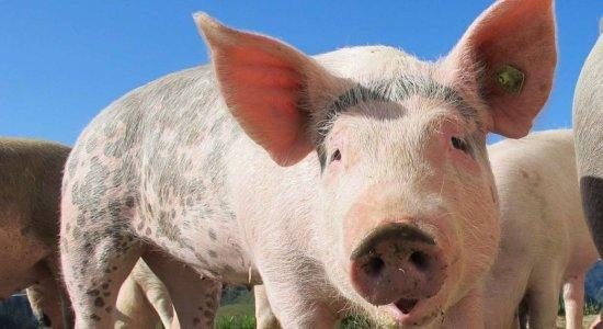 Brasil confirma foco de peste suína clássica no Ceará; saiba se a doença pode atingir humanos