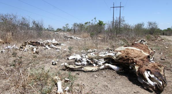 seca - sertão - vaca morta - desertificação - interior - falta de água - fome - esqueleto de vaca - seca no nordeste - indústria da seca - Em torno de 20 vacas mortas estão na beira da BR-423, no Sítio Ouricuri, nas proximidades de Cachoeirinha e Garanhuns. Elas morreram por falta de água e alimentação.