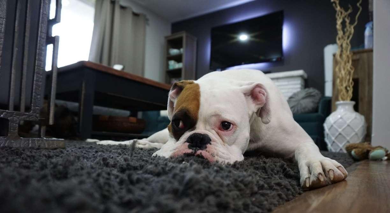 Isolamento pode gerar ansiedade nos pets e até automutilação