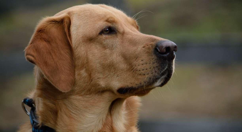 Cães labradores são treinados para detectar o coronavírus através do faro