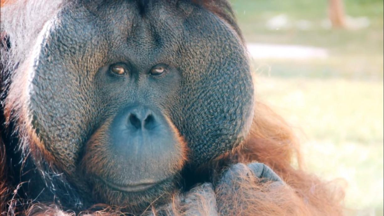 Isolado no zoo de São Paulo, o orangotango Sansão sente falta de visitas