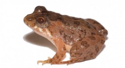 Rã foi encontrada em um milharal no interior de Goiás