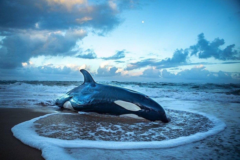 Orca que encalhou em Guarajuba, na Bahia, é eutanasiada por não ter chance de sobreviver