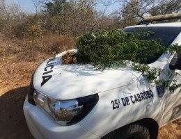 Policiais ainda detiveram um suspeito que foi apresentado a Autoridade Policial, apreenderam a quantidade de 1,138 kg de maconha pronta para o consumo e uma bomba de irrigação.