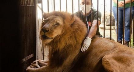 Léo viveu 21 anos, tempo muito acima da média para a sua espécie, que é de 12 anos
