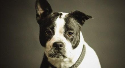 Em seu estágio inicial, doença do verme do coração em cachorros não apresenta sintomas, o que dificulta o diagnóstico
